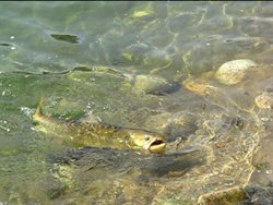 Methow Bull Trout 2