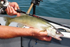 Redline Series Walleye Rod from Lamiglas