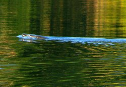 Curlew Lake Tiger Swimming